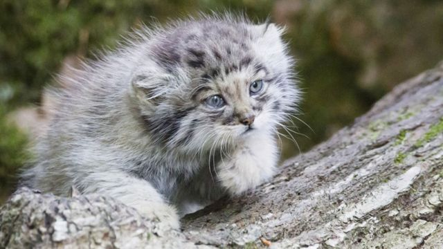 Funding for Scottish-backed rare cat conservation effort