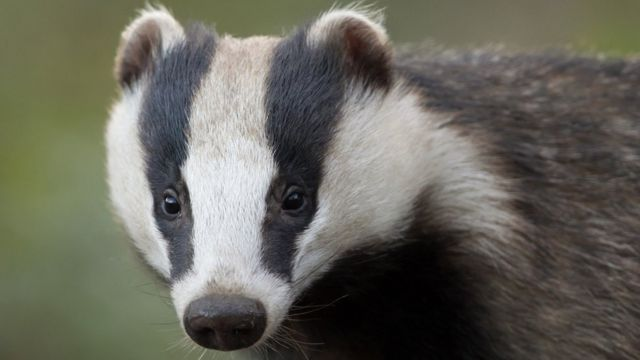 Wyke Regis Cemetery remains not disturbed by badgers, report finds