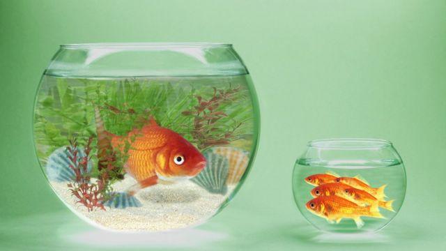 Pecera grande con un pez y pequeña, con varios