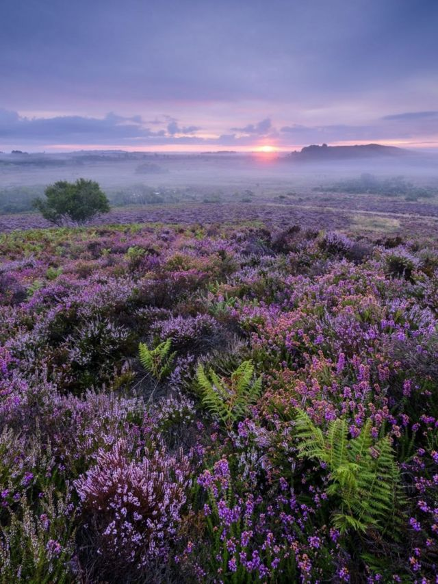 Mark Bauer dengan foto bunga heather ungu di Stoborough Heath National Nature Reserve, Dorset, Inggris.