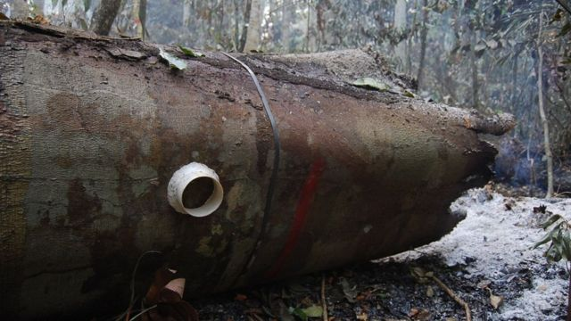 Uma das 6.000 plantas monitoradas no estudo, que morreu em uma floresta queimada durante o El Niño de 2015