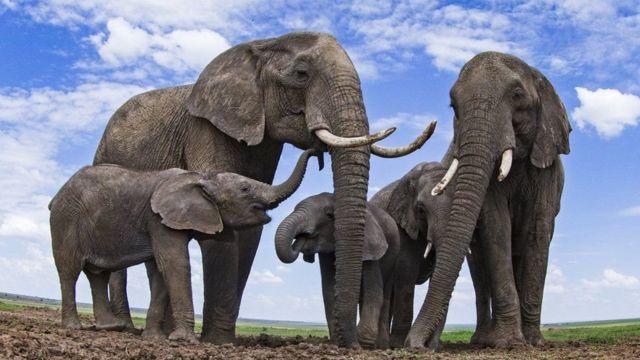فیل های آفریقایی در معرض خطر نابودی قرار گرفته اند
