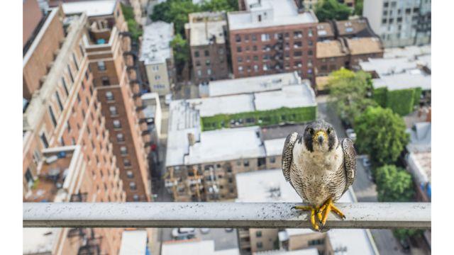 Halcón peregrino en un balcón de Chicago