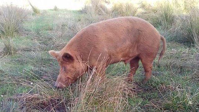 Toby the boar