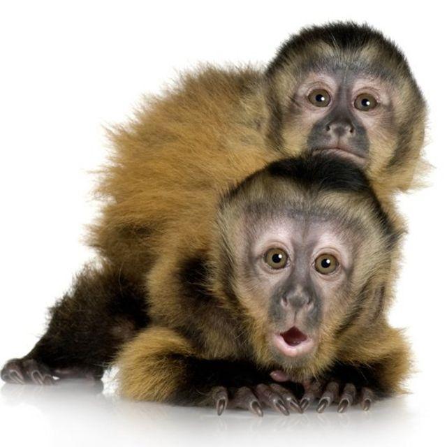 Bebés de monos capuchinos