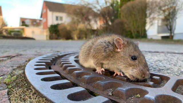 Rata que foi salva de bueiro na Alemanha