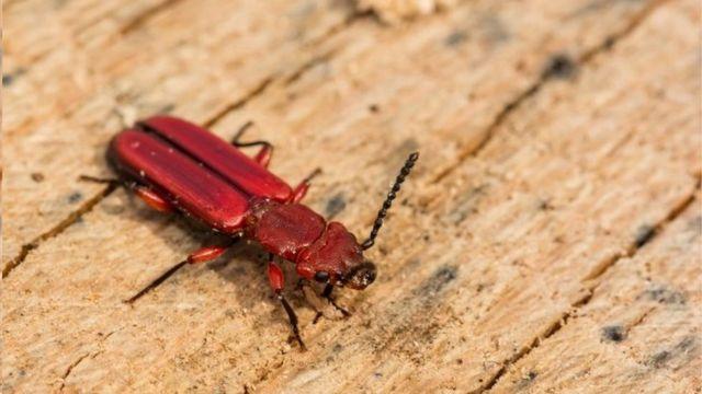生活在樹皮下,這種勇抗逆境的紅扁皮甲蟲能在地球上極度嚴寒的環境中生存。