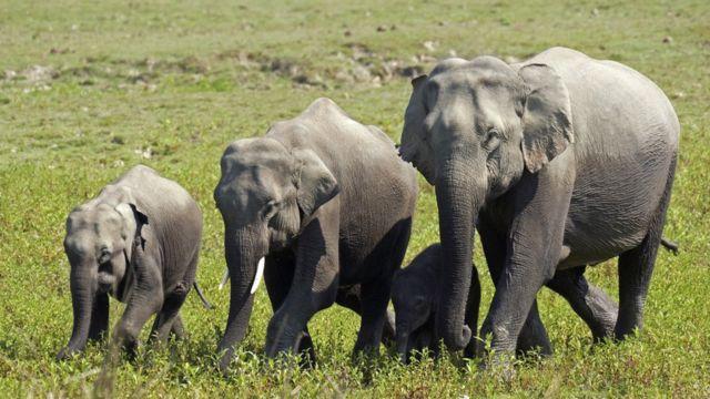 Stock photo of elephants in Assam, India