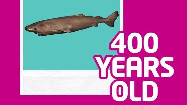 400-year-old shark