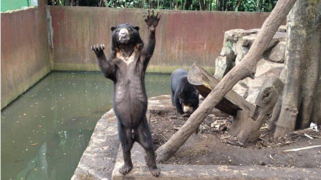 Beruang madu di Kebun Binatang Bandung terlihat kurus dan meminta makanan dari pengunjung saat dikunjungi pada Rabu (18/1/2016).