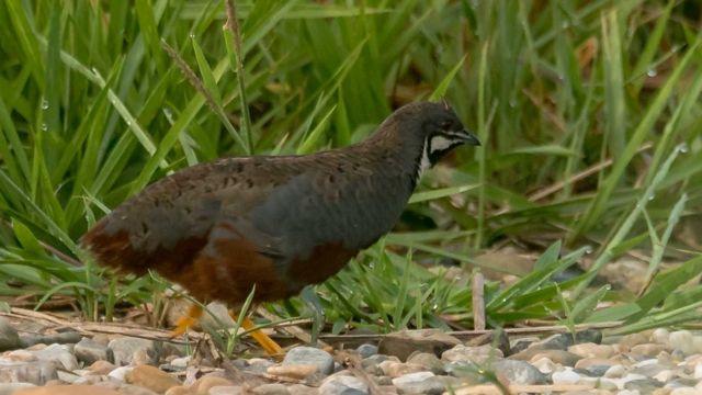 kingquail