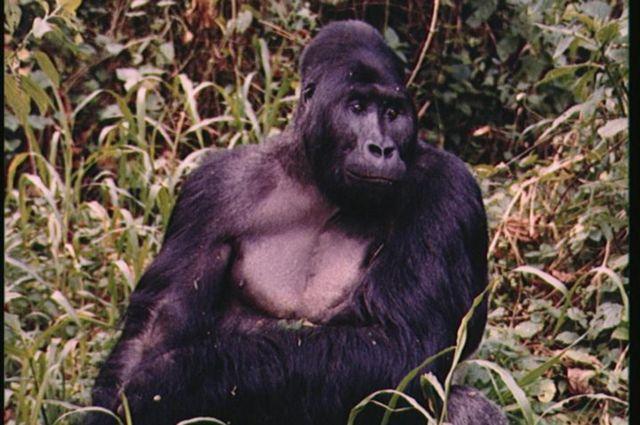 Un gorila de montaña