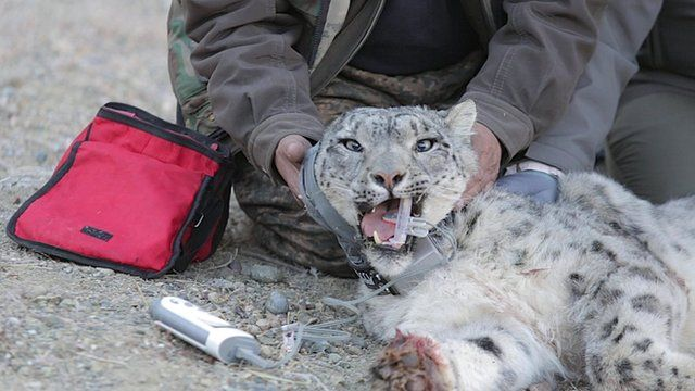 Snow leopard being examined by wildlife team