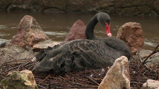 Black swan protecting its eggs