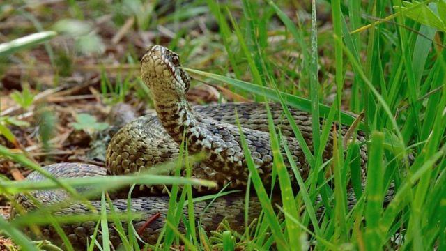 A viper in the grass