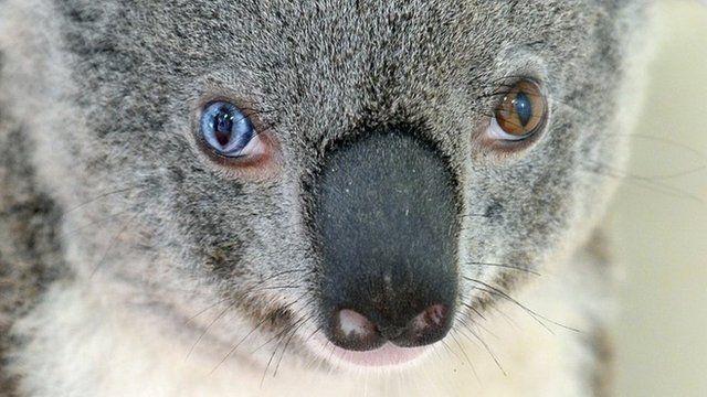 Bowie the koala