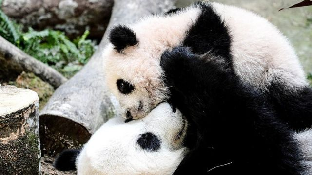 Cachorros de Panda