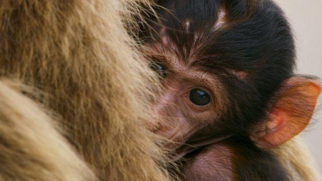 刚出生不久的小猕猴