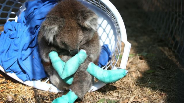 yaralı bir koala.