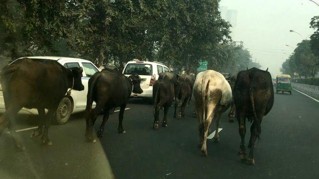 सड़क पर घूमती आवारा गायें