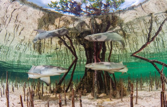 An underwater photo of two young lemon sharks amongst mangrove roots