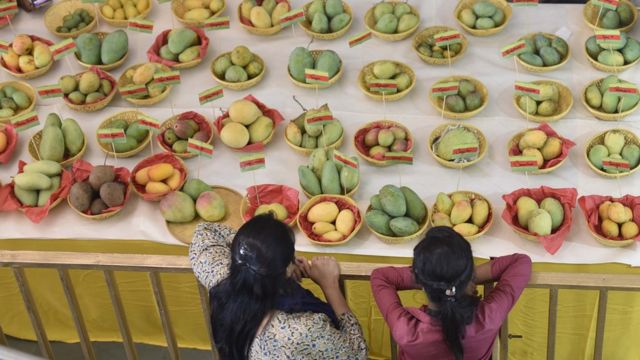 Long table with white table cloth, dozens of baskets containing different types of mangoes on top, and two ladies looking on