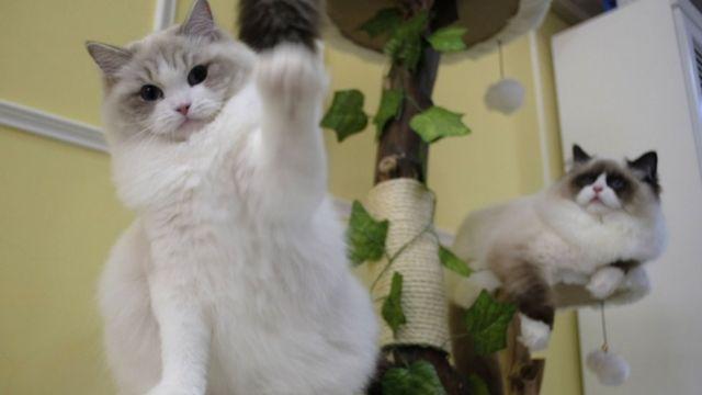 Пухнасті коти