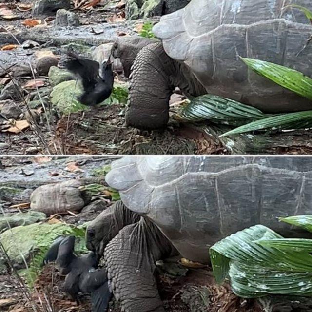 Гигантская черепаха во время охоты