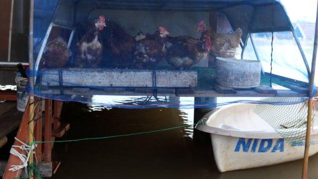 สัตว์เลี้ยงของชาวบ้านอย่างสุนัข แมว ต้องขึ้นมาอยู่บนบ้าน รวมทั้งไก่ไข่ที่เลี้ยงไว้ขายก็ต้องย้ายกรงหนีน้ำ ชาวบ้านหลายหลังมัดแขวนไว้กับฝาบ้าน บ้างต่อกรงให้สูงพ้นหนีน้ำ