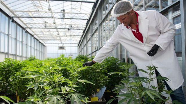 Plantas de marihuana.