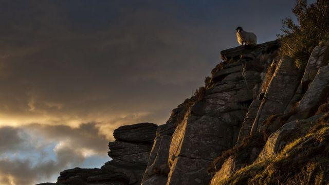 Овца на скале в Пик-Дистрикт