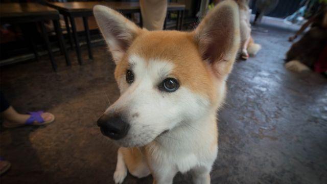 Big Dog Cafe ยังมีสุนัขพันธุ์เล็กและขนาดกลางที่น่ารักอีกหลายตัว ยกตัวอย่าง สุนัขพันธุ์อากิตะตัวนี้