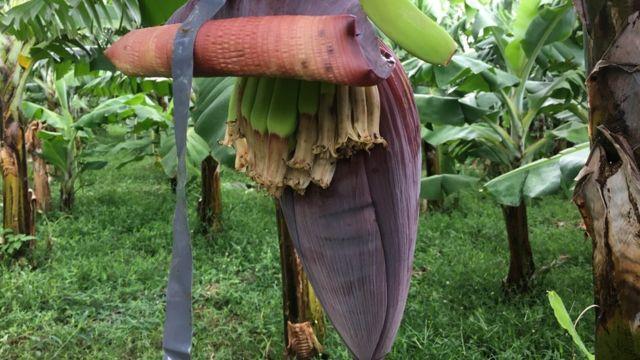 Flor de banana