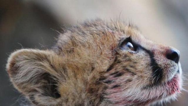 چیتے کے بچے