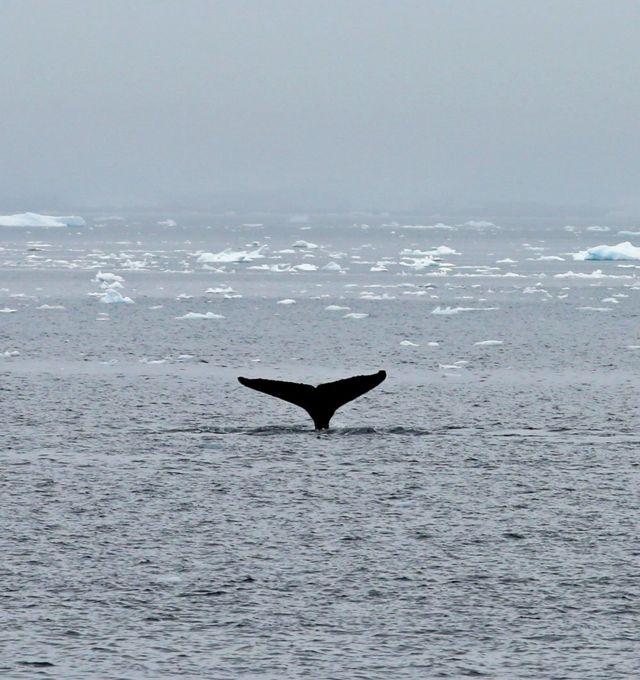 balinanın kuyruğu