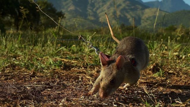 A giant African pouched rat being trained to detect landmines in Tanzania