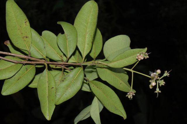 Hojas y flores de Pimenta berciliae