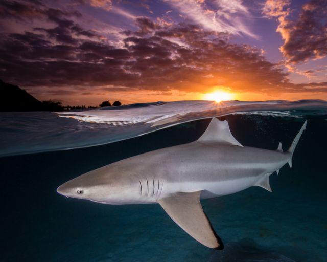 Black Dip Reef Shark - Carcharhinus melanopterus