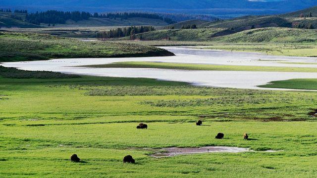 В Йеллоустонском национальном парке некоторые виды травы стали более устойчивы к высоким температурам - благодаря вирусу