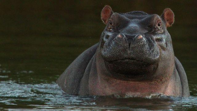 South Africa hippo 'kills three' near Zimbabwe border
