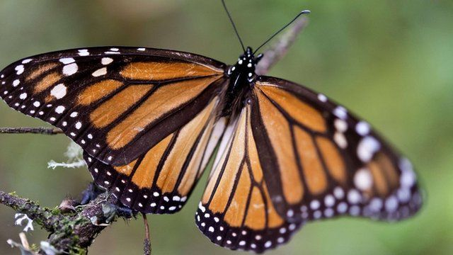 A Monarch butterfly (Danaus plexippus) at the oyamel firs (Abies religiosa) forest in Temascaltepec, Mexico
