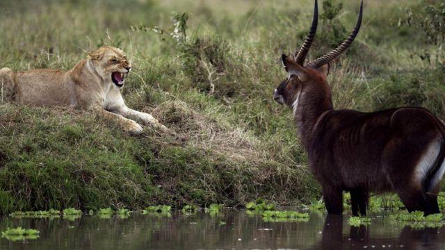 Животные не зря боятся своих естественных врагов