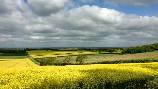 A field of oil seed rape with cloudier skies above.