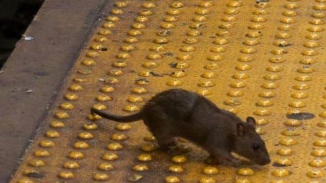 뉴욕 지하철역에서 포착된 쥐