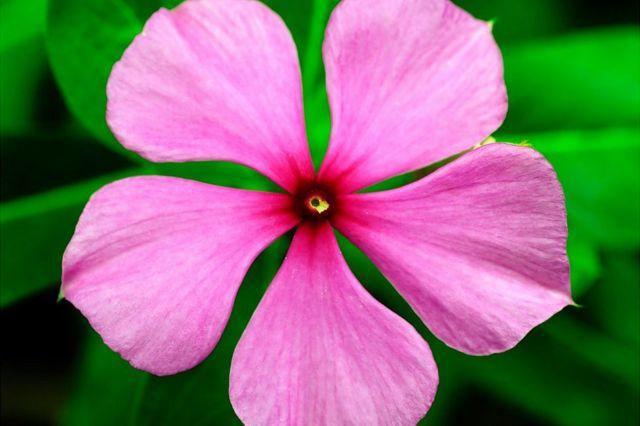 Flor con 5 pétalos.