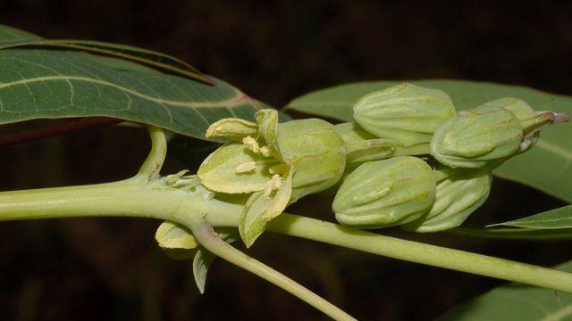 گیاه جدید مانیهوت
