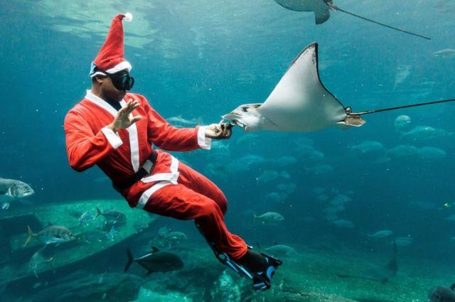 غطاس يرتدي ملابس بابا نويل يطعم سمكة الراي اللاسعة خلال عرض نُظم يوم الثلاثاء في حوض سمك في مدينة دوربان بجنوب أفريقيا