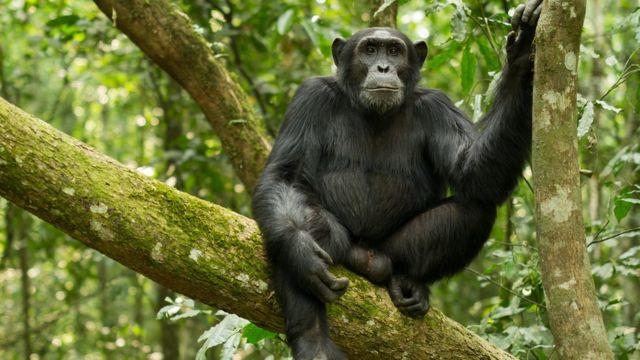 Chimpancé en África
