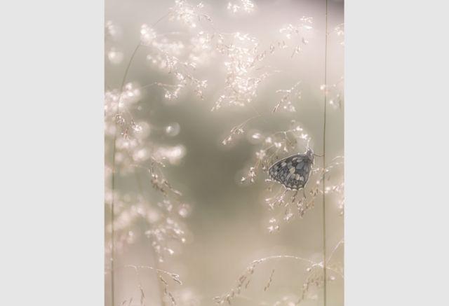 Marbled White Butterfly by Ross Hoddinott