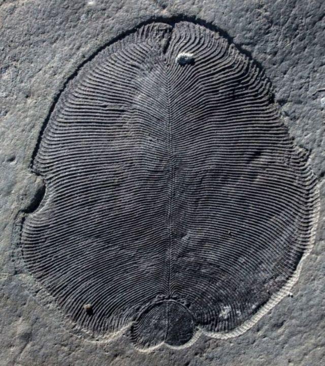Fósil de Dickinsonia